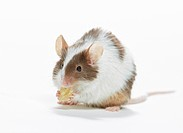 fancy mouse _ munching _ cut out restrictions: animal guidebooks