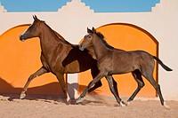 two Arabian horses _ trotting