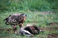 White-tailed Eagle or Sea Eagle (Haliaeetus albicilla), 2-year-old young bird, juvenile plummage, on a badger