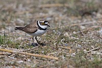 Little Ringed Plover (Charadrius dubius), bird