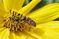 European Hoverfly or Dronefly (Eristalis pertinax) feeding on pollen from the blossom of a Jerusalem Artichoke or Sunchoke (Helianthus tuberosus)