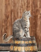 Young grey tabby cat, sitting on a barrel