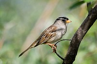 White-crowned Sparrow (Zonotrichia leucophrys), Yukon Territory, Canada, North America
