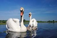 Family of Mute Swans (Cygnus olor), Velke Bilovice, Breclav district, South Moravia, Czech Republic, Europe