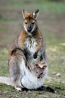 Red-necked Wallaby (Macropus rufogriseus, Wallabia rufogrisea) with joey in pouch