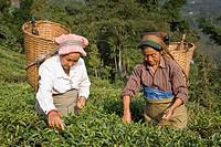 India, West Bengal, Kurseong, Goomtee Tea Estate, Women tea picking