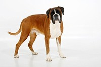 German Boxer, 4 years
