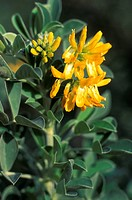 medicago arborea flowers, marseille, france
