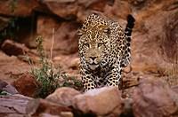 Leopard near the Okonjima Guest Lodge, Namibia, Africa