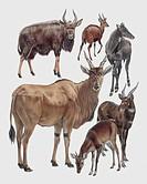Zoology: Mammals - Neotragines. Art work