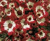 Botany - Asteraceae. Common ragwort (Senecio cruentus)