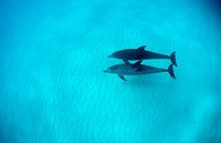 Atlantic Stenella, atlantic spotted dolphin, Stenella frontalis, Bahamas, Atlantic