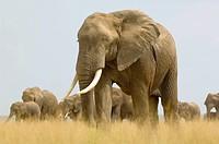 A herd of elephants Loxodonta marches across open grassland, Amboseli National Park, Kenya