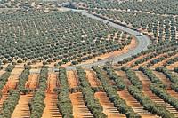 Olive grove, Mora de Toledo. Toledo province, Castilla-La Mancha, Spain