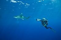 Oceanic Whitetip Shark, Carcharhinus longimanus,