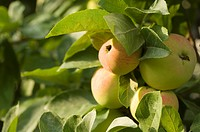 closeup, apple, close_up, close, calorie, delicious, agriculture