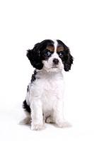 canines, animal, domestic, cocker spaniel, dog, pet