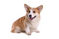 canines, animal, domestic, corgi, dog, pet