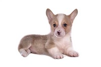 canines, animal, domestic, corgi, dog, puppy, pet
