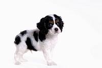 canines, animal, domestic, cocker spaniel, dog, puppy, pet