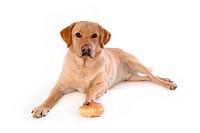 house pet, domestic, cute, loving, canines, labrador retriever