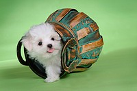 loving, basket, puppy, canines, domestic, maltese