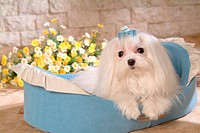house pet, domestic, cute, loving, canines, maltese