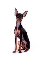 pose, domestic, companion, house pet, canines, miniature pinscher
