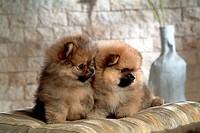 canine, dog, close up, domestic animal, pet, pomeranian