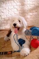 pose, sheepdog, house pet, canines, domestic, old english sheepdog