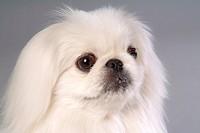 faithful, domestic animal, companion, canine, close up, pekingese
