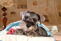pose, schnauzer, house pet, canines, domestic, miniature schnauzer