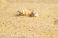 mollucca, animal, mollusc, mollusks, mollusk, shell, conch