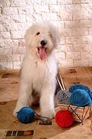 pose, domestic, house pet, canines, sheepdog, old english sheepdog
