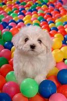 house pet, ball, canines, domestic, maltese, Maltese