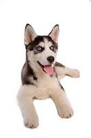 cute, husky, loving, canines, domestic, house pet, siberian husky