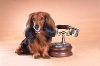 classical telephone, animal, telephone, dachshund, dog, antique telephone, pet