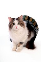 feline, domestic animal, companion, closeup, close up, faithful, turkishangora