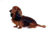 canine, domestic animal, closeup, close up, looking forward, dachshund