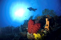 Scuba Diver over coral and sponge reef, Cayman Islands, Caribbean