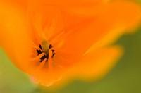 California golden poppies Eschscholzia californica, close_up