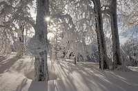 Germany, Saxony_Anhalt, Snow_covered trees and sun rays