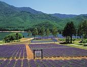 Kanayama lake, Lavender, Minamifurano, Hokkaido, Japan