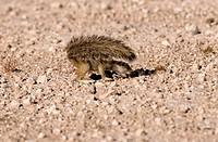 Cape Ground Squirrel / Xerus inauris