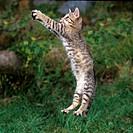 domestic cat _ kitten _ jumping
