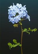 Blue plumbago, Cape plumbago, Cape leadwort, Plumbago auriculata, Plumbago capensis