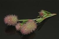 Haresfoot clover, Rabbitfoot clover, Stone clover, Trifolium arvense