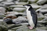 A Chinstrap Penguin on the shore of Half Moon Island, Antarctic Archipelago.