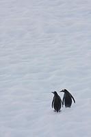 Gentoo Penguins Climb the side of an Iceberg Floating in Neko Harbour, Antarctica
