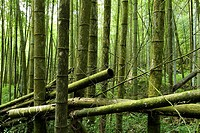 Bamboo in the Forest
